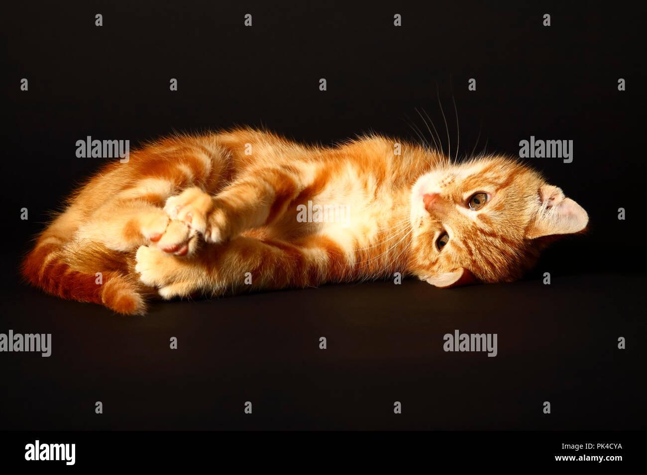 Jengibre mackerel tabby12 semana vieja gatito aislado en un fondo negro Foto de stock