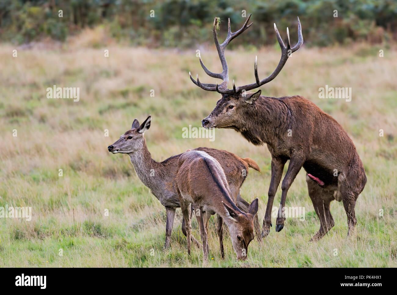 Ciervo ciervo ciervo hembra apareamiento Richmond Park UK Foto de stock