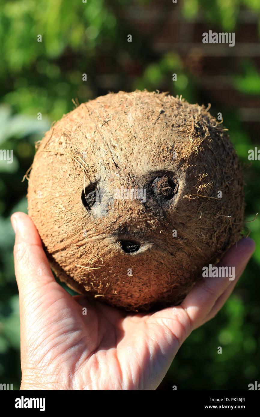 Mano sosteniendo toda la fruta de coco Imagen De Stock