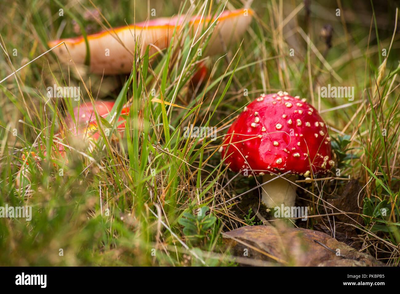 Seta de color rojo con lunares blancos hojuela de cerca en el bosque de otoño Foto de stock