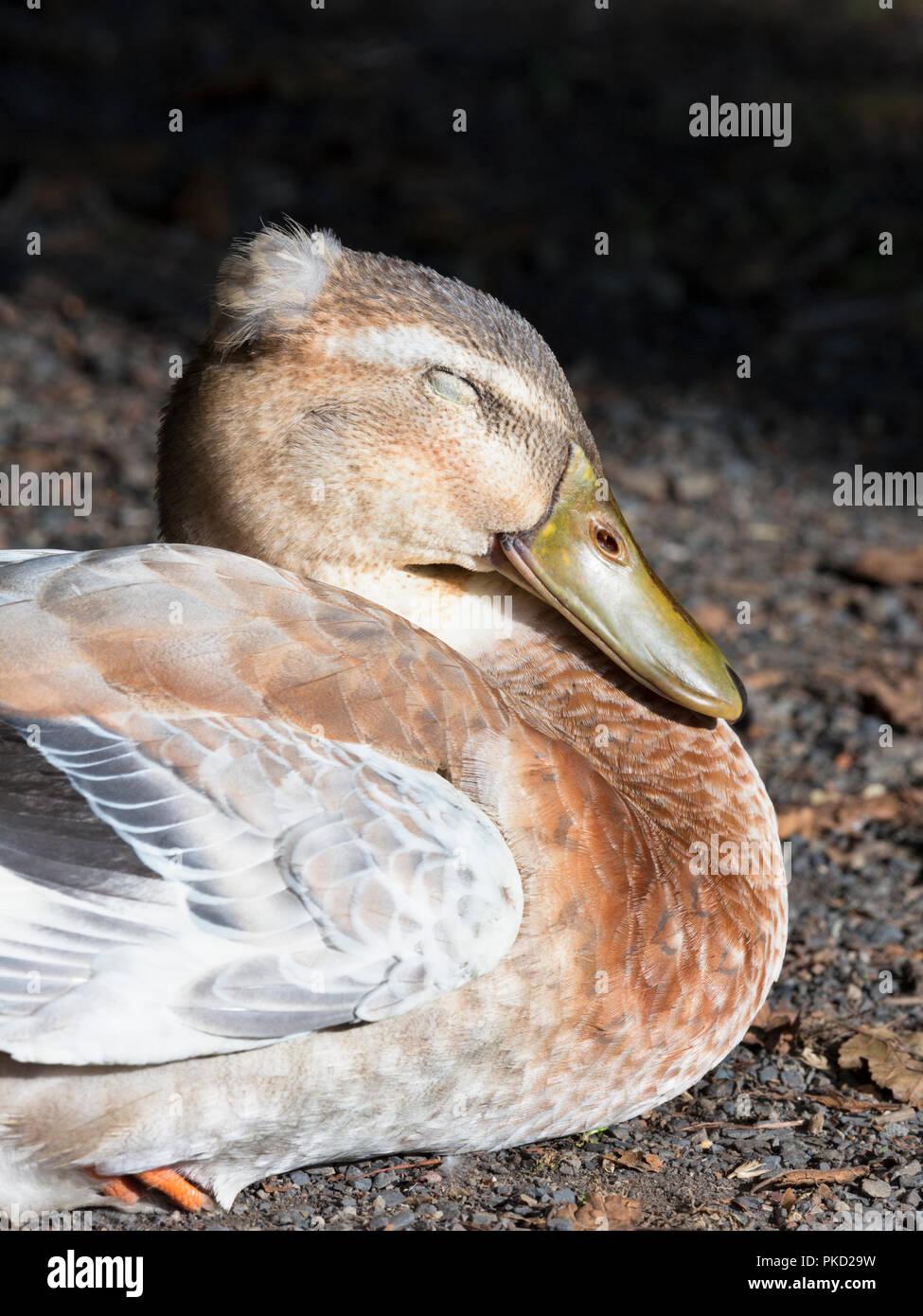 Ánade real durmiendo Imagen De Stock
