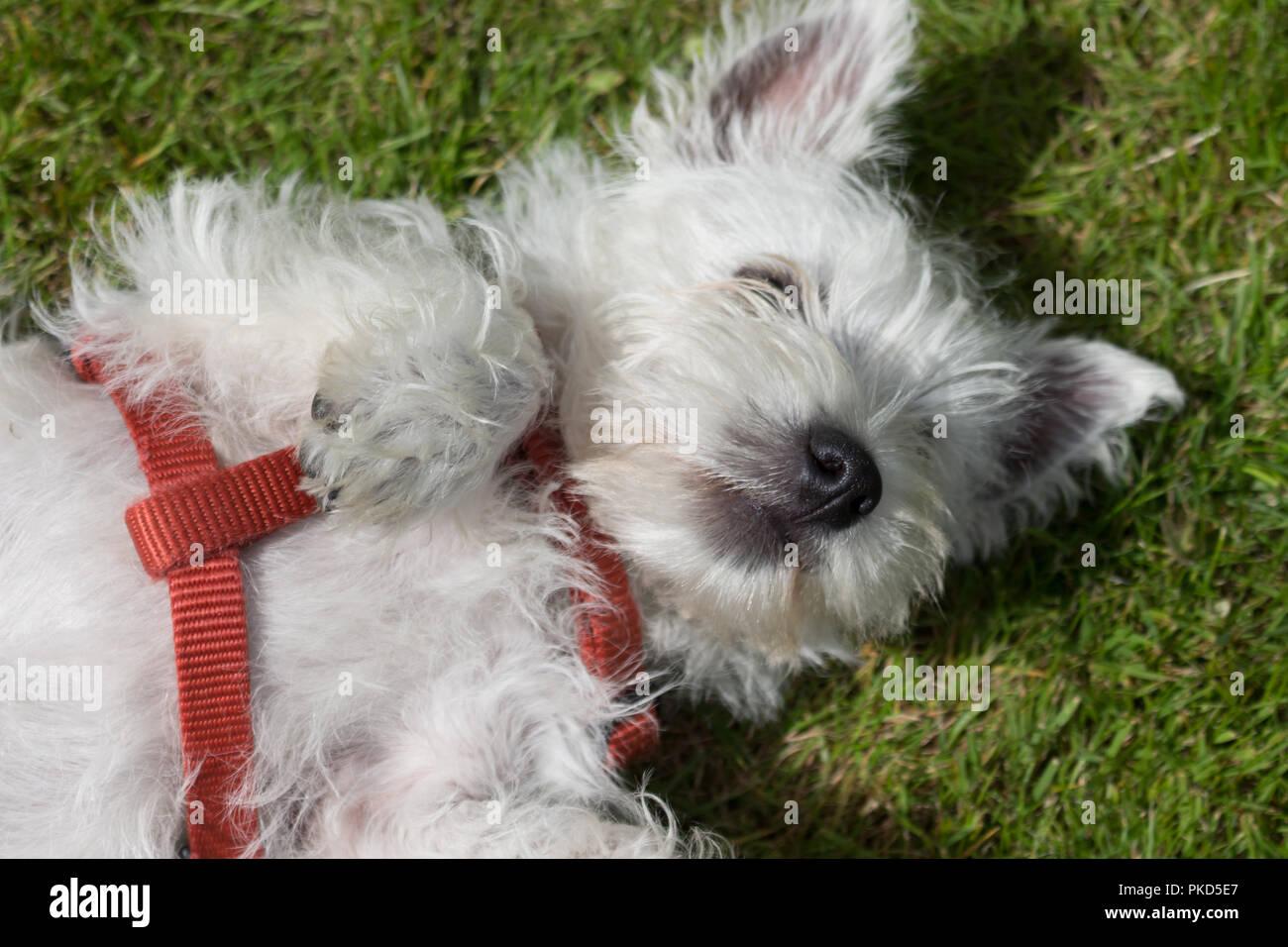 West Highland White Terrier, comúnmente conocido como Westie. Acostado sobre la espalda en la hierba con un mazo de cables de color rojo. Foto de stock