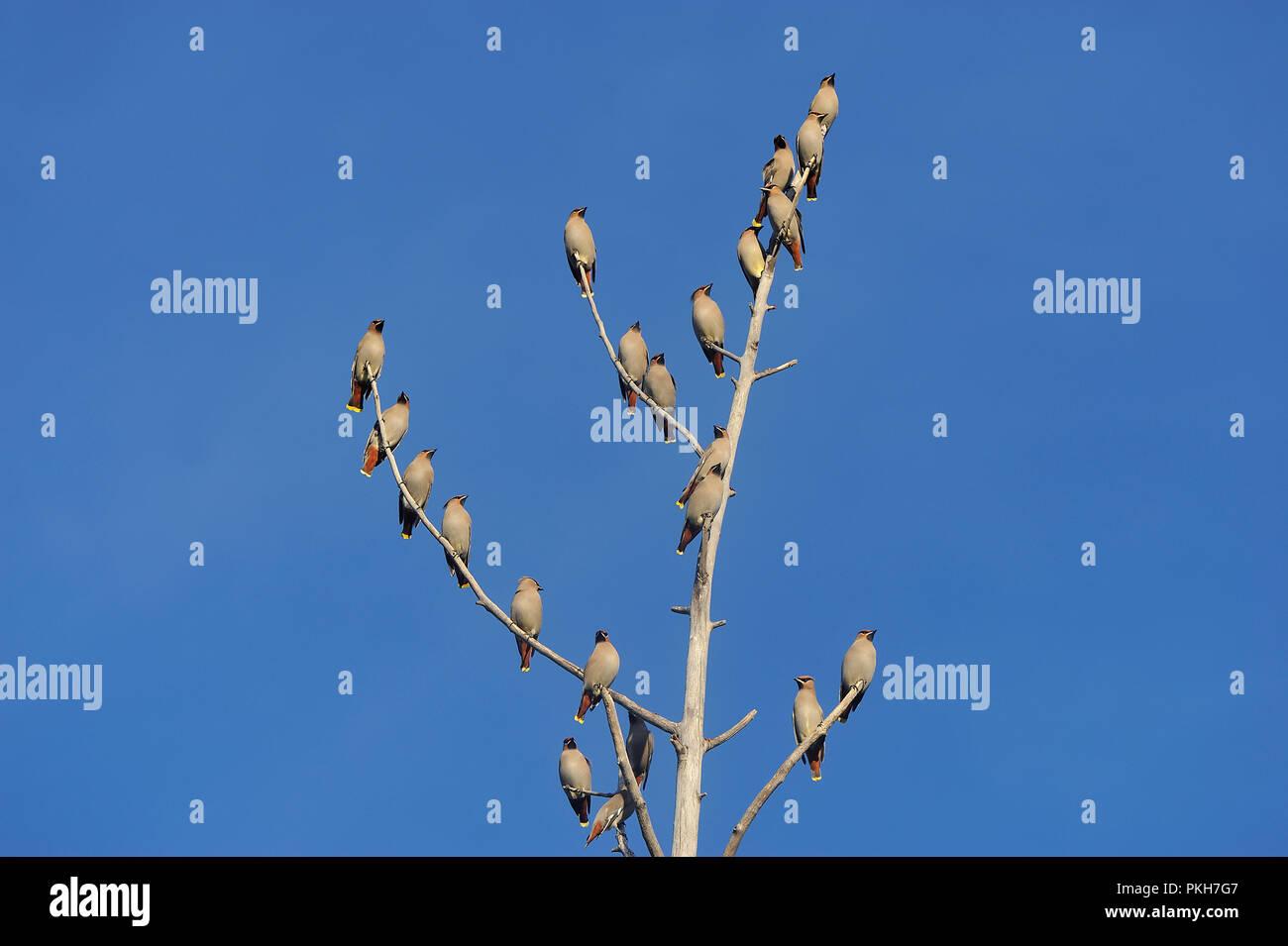 Una bandada de pájaros waxwing de cedro encaramado en un árbol muerto contra un fondo de cielo azul en la zona rural de Alberta, Canadá. Imagen De Stock