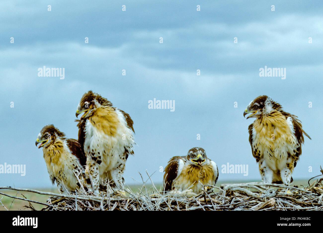 Menores halcones ferruginosas (Buteo regalis) en el nido en el Morley Nelson Snake River, aves de presa, el Area de Conservación Nacional de Idaho Imagen De Stock