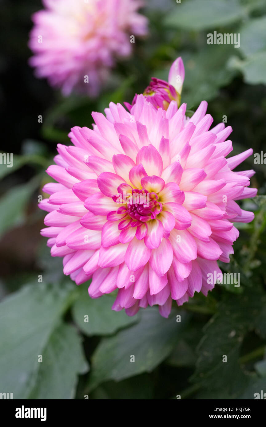Dalia 'Perfección' rosa flor. Imagen De Stock
