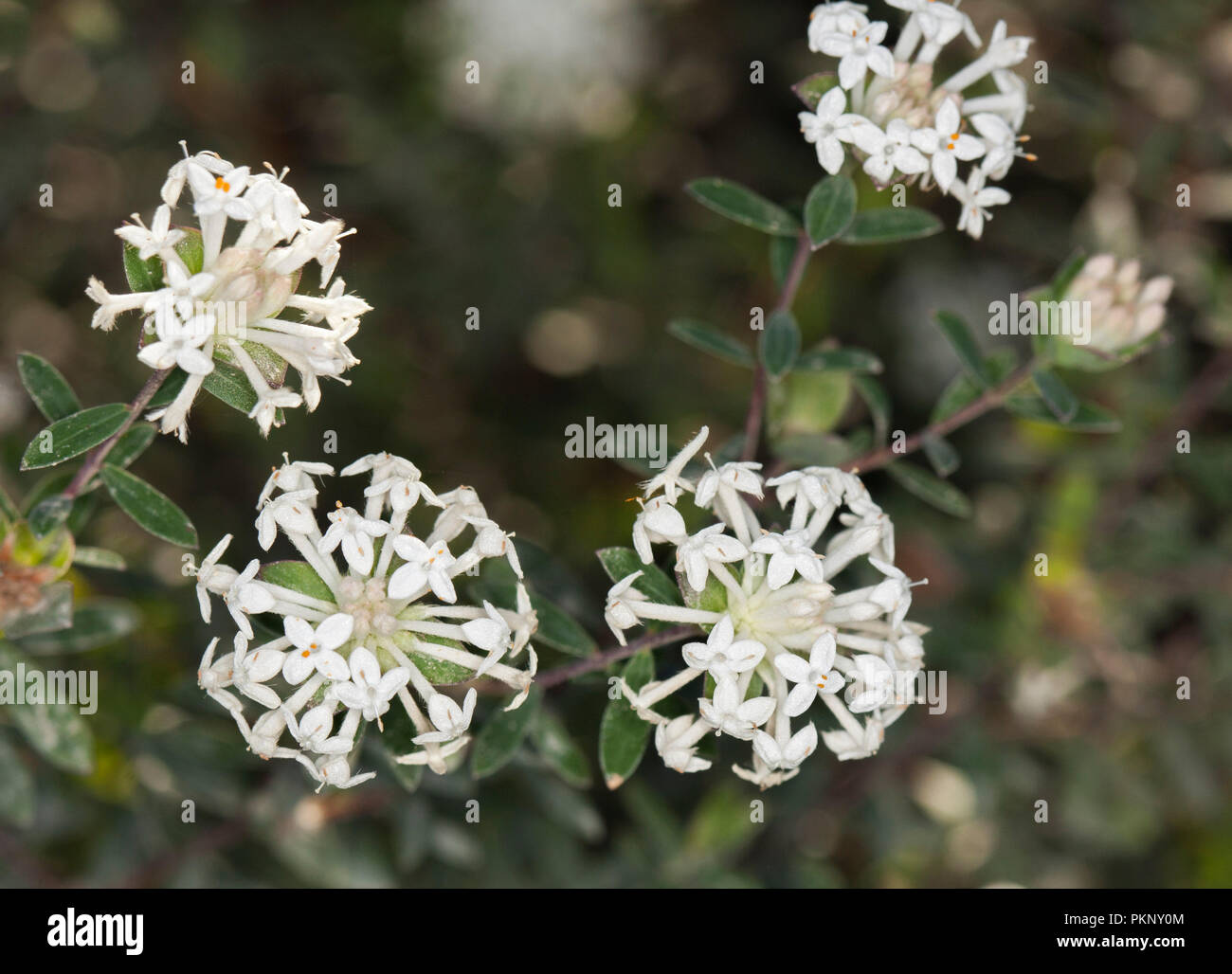 Flores Silvestres De Australia Racimos De Flores Blancas Y Follaje