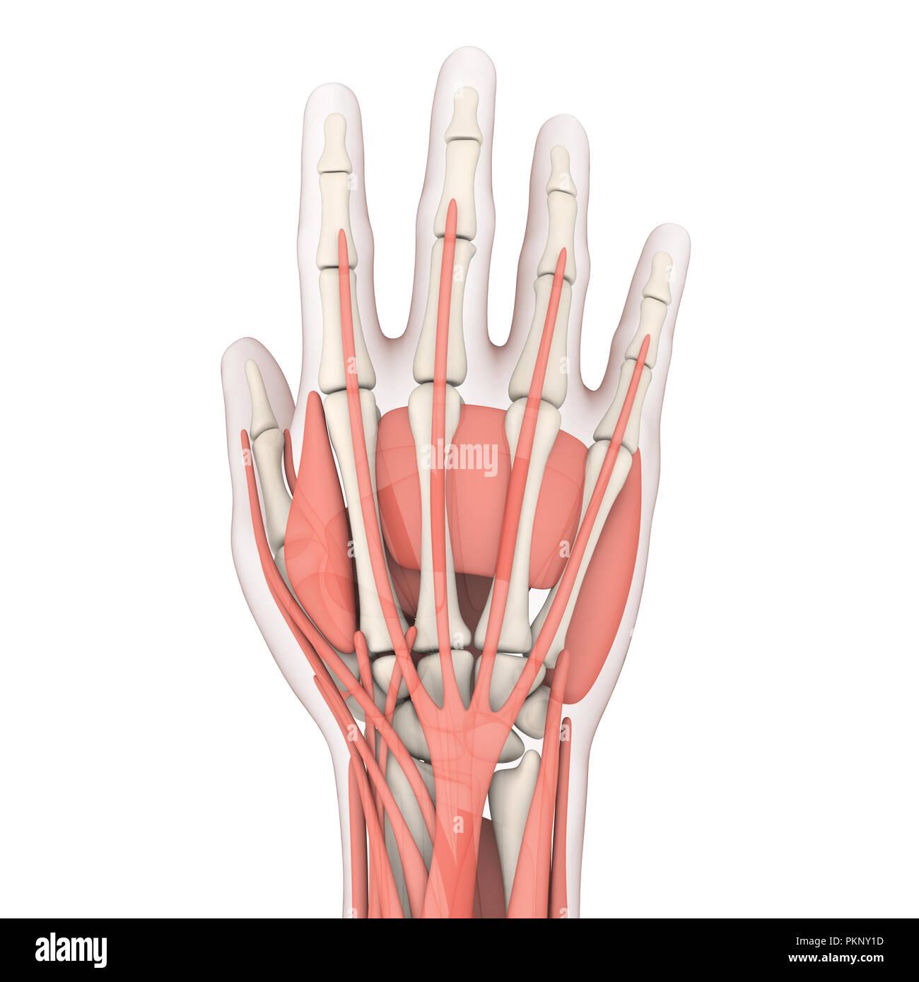 Anatomía de la mano humana ilustración Imagen De Stock