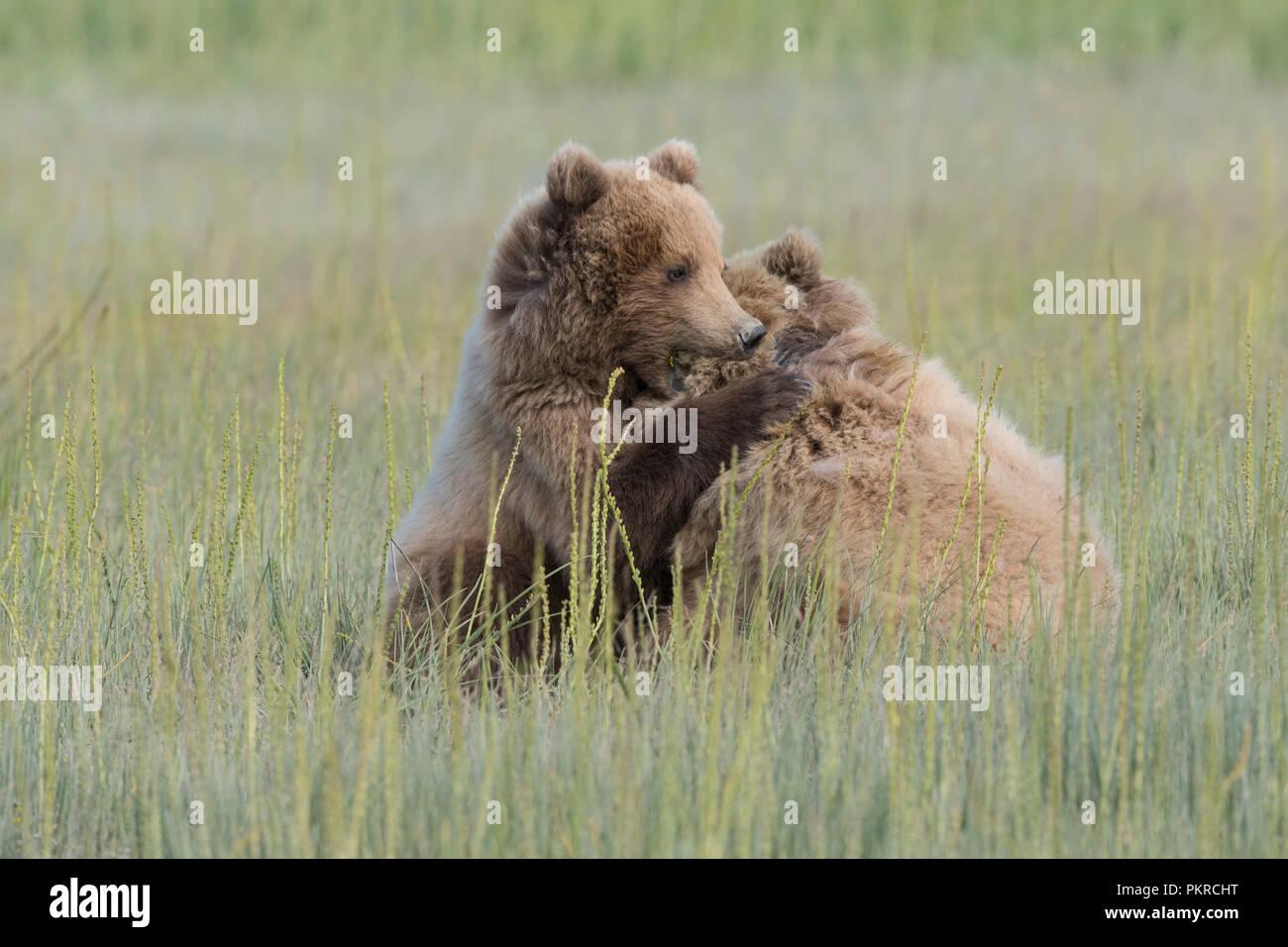 Costera de Alaska Brown Bear, Lake Clark National Park Foto de stock
