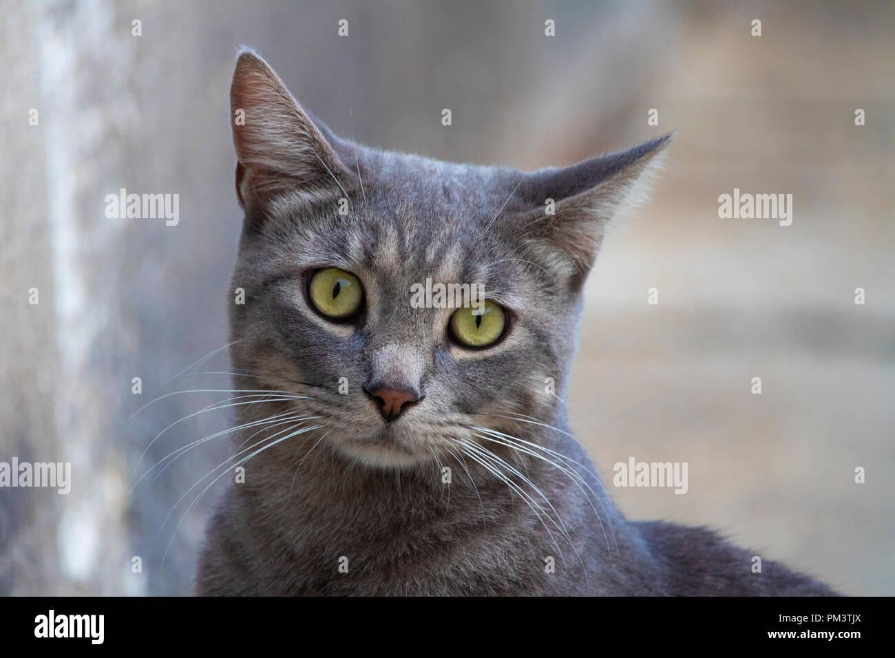 Impresionante lindo gato gris aislado en la calle vertical Foto de stock