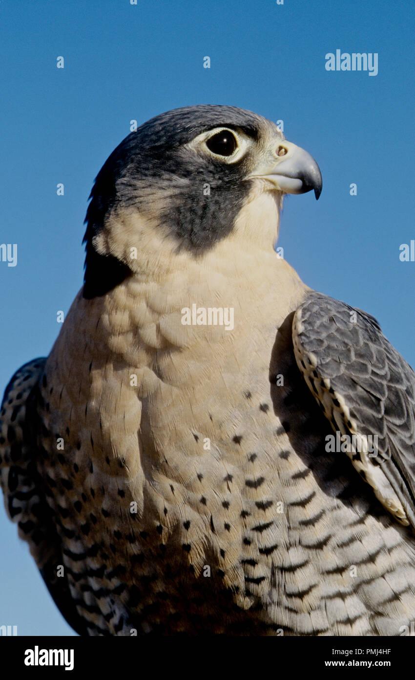 El halcón peregrino (Falco peregrinus); cautivos en el Centro Mundial de aves de rapiña, Boise, Idaho, EE.UU. Imagen De Stock