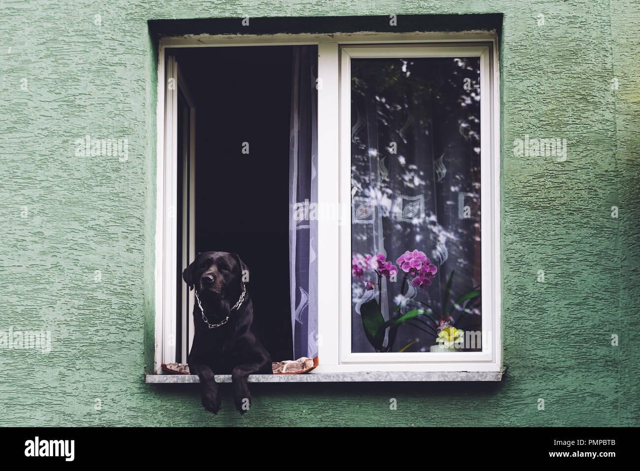 Perro mirando por la ventana de un edificio de apartamentos Foto de stock