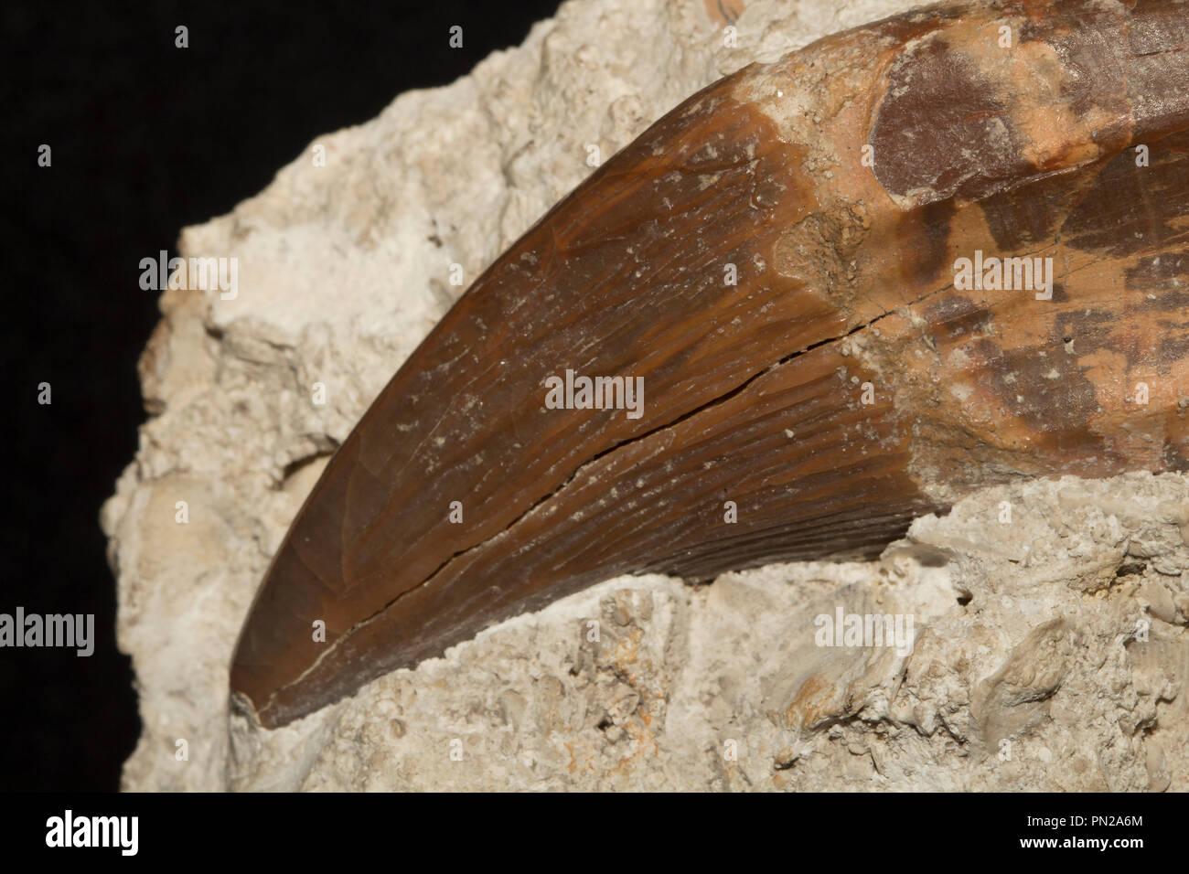 Diente de ballena dentada arcaico Pontogeneus brachyspondylus, un cetáceo extinto desde el eoceno. Foto de stock
