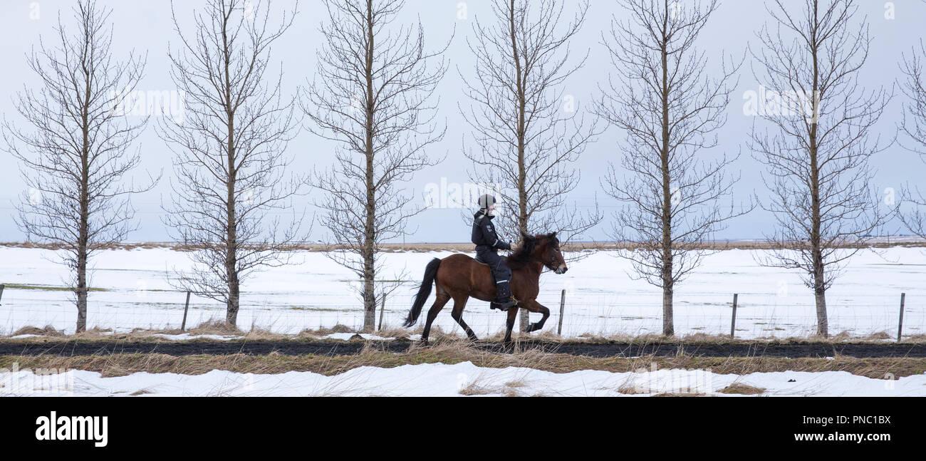 Mujer caballo islandés pony haciendo la tradicional Marcha - tolting tolt - en Hella en el sur de Islandia Imagen De Stock