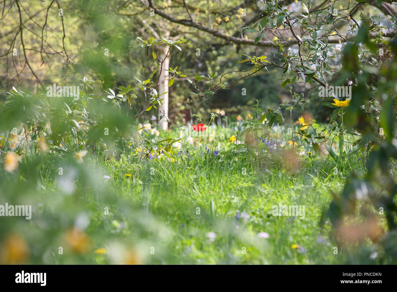 Solo rojo vibrante tulipán en una pradera de primavera Imagen De Stock