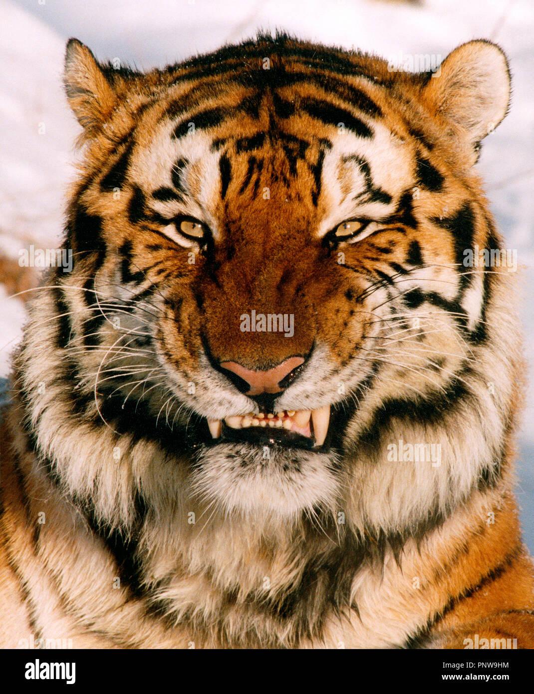 Cierre exterior retrato de gruñido feroz tigre siberiano. Rusia. Imagen De Stock