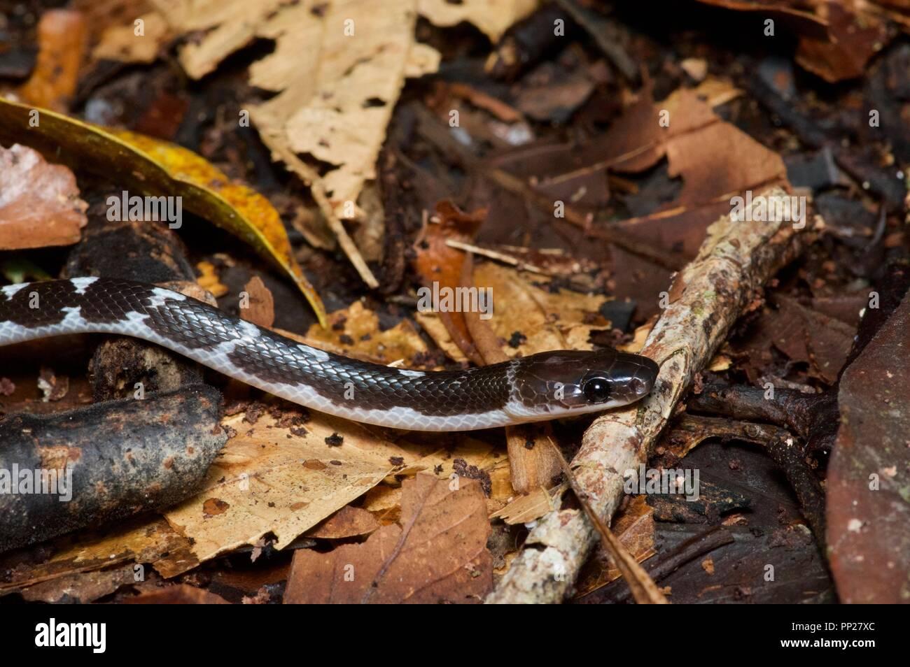 Un joven delgado Serpiente Lobo (Lycodon albofuscus) en la hojarasca en el Área de Conservación del valle Danum, Sabah, Malasia Oriental, Borneo Imagen De Stock
