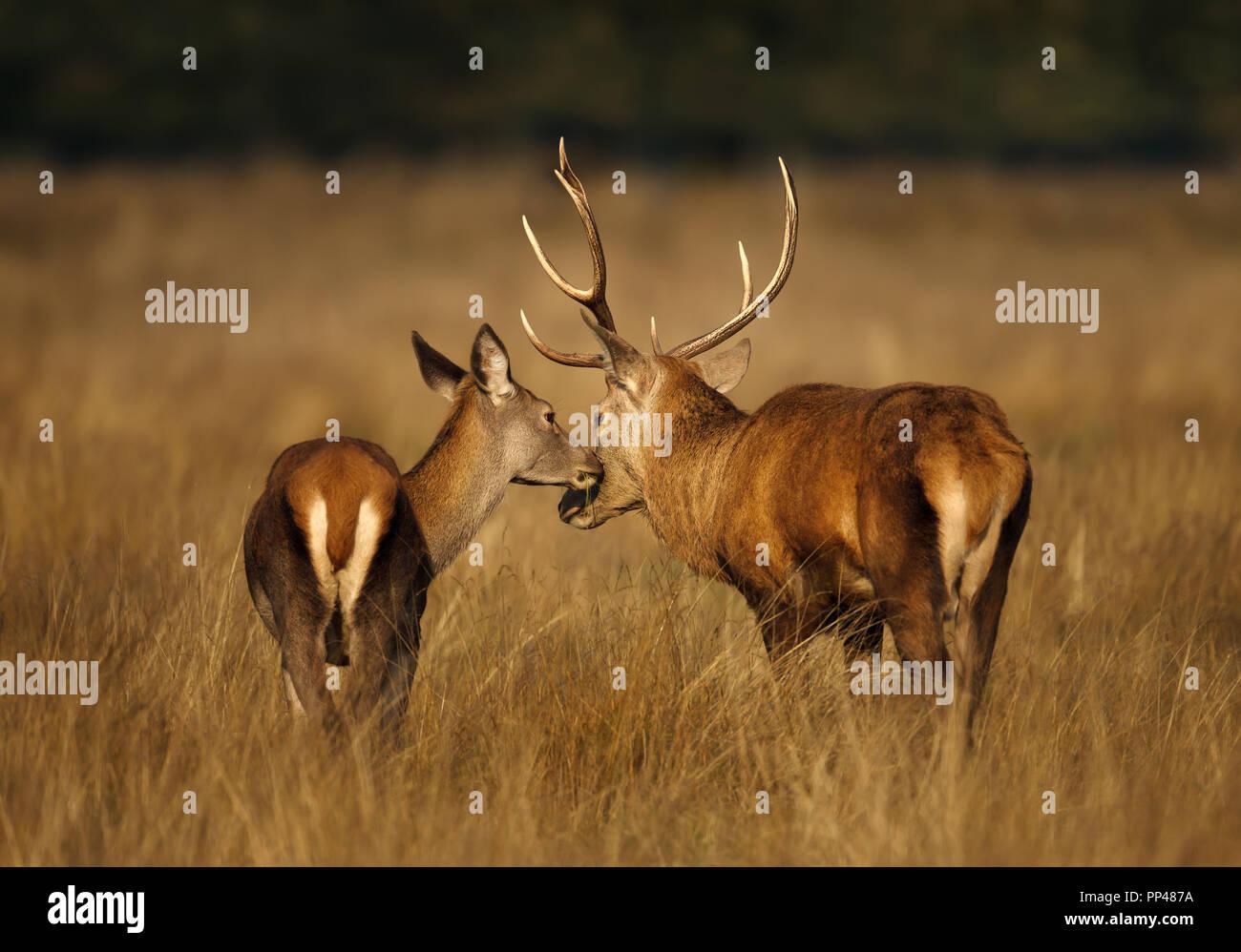 Cierre de un ciervo ciervo con un hind en otoño, Reino Unido. Imagen De Stock
