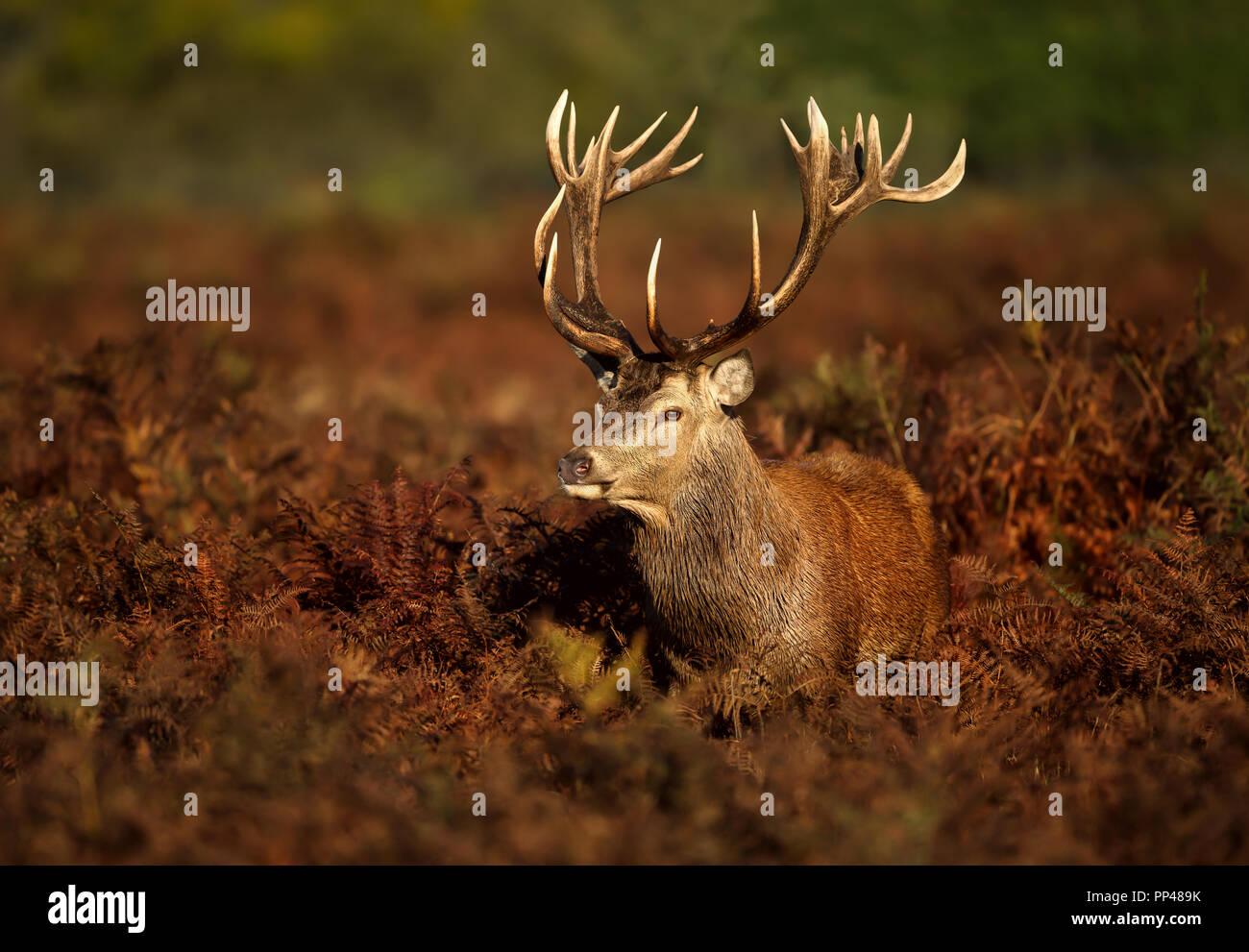 Cierre de un ciervo ciervo de pie en el campo de la fern durante la temporada de celo en otoño, Reino Unido. Foto de stock