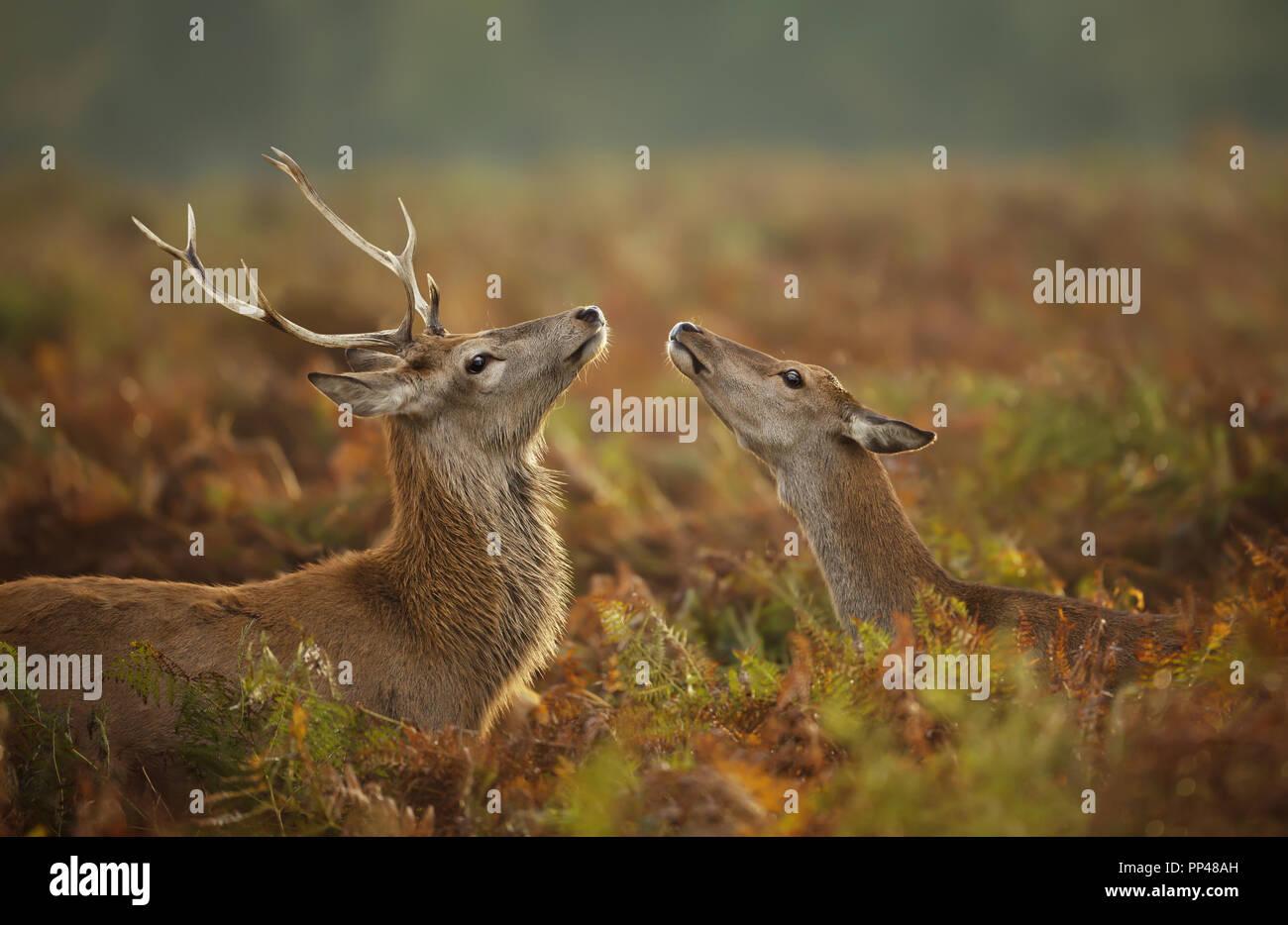 Cierre de un ciervo ciervo con un hind durante la temporada de celo, otoño en el Reino Unido. Imagen De Stock