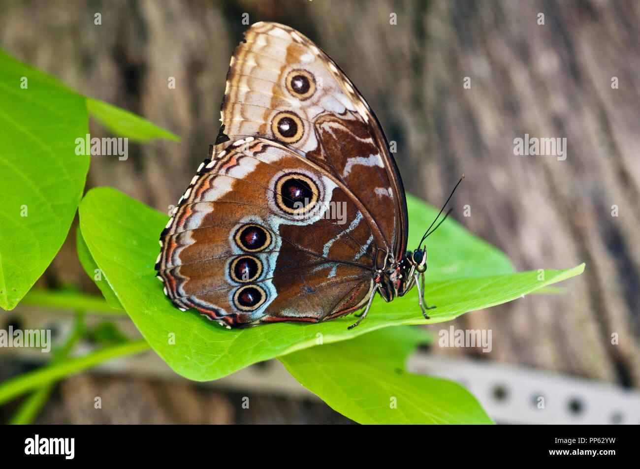 Vista ventral del ala de mariposa Morpho azul (Morpho peleides) en la pantalla de mariposas en el Zoológico de la ciudad de Boise en Boise, Idaho Imagen De Stock