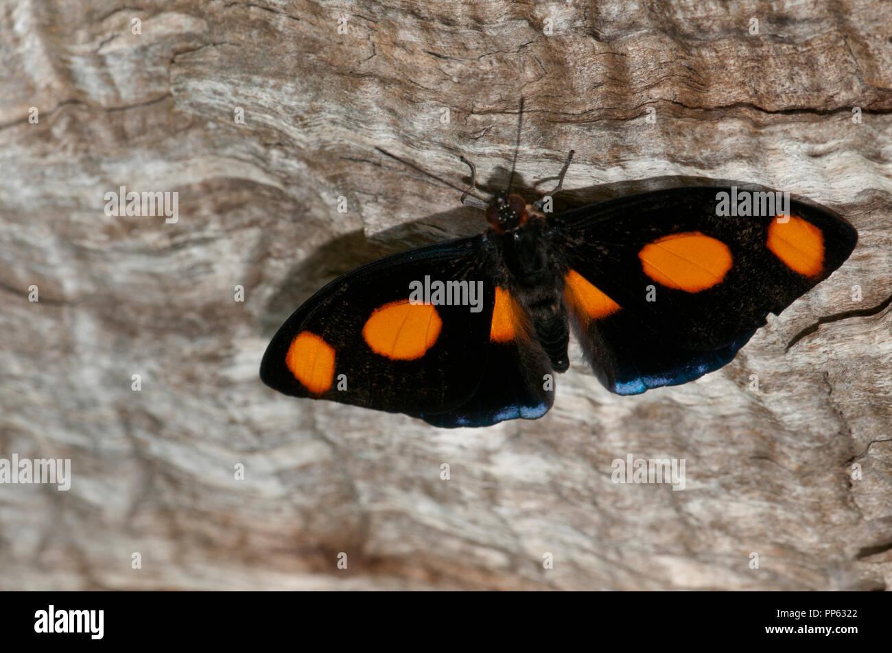 Macho azul-spotted Catonephele numilia butterfly (banner) (cautivo), el zoológico de la ciudad de Boise, Idaho. Rango es natural de México - Perú. Imagen De Stock