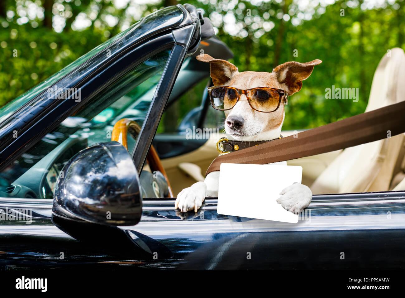 Jack Russell perro en un automóvil cerca del volante, listo para conducir rápido y guardar , con el cinturón de seguridad abrochado,con licencia de conducir Imagen De Stock