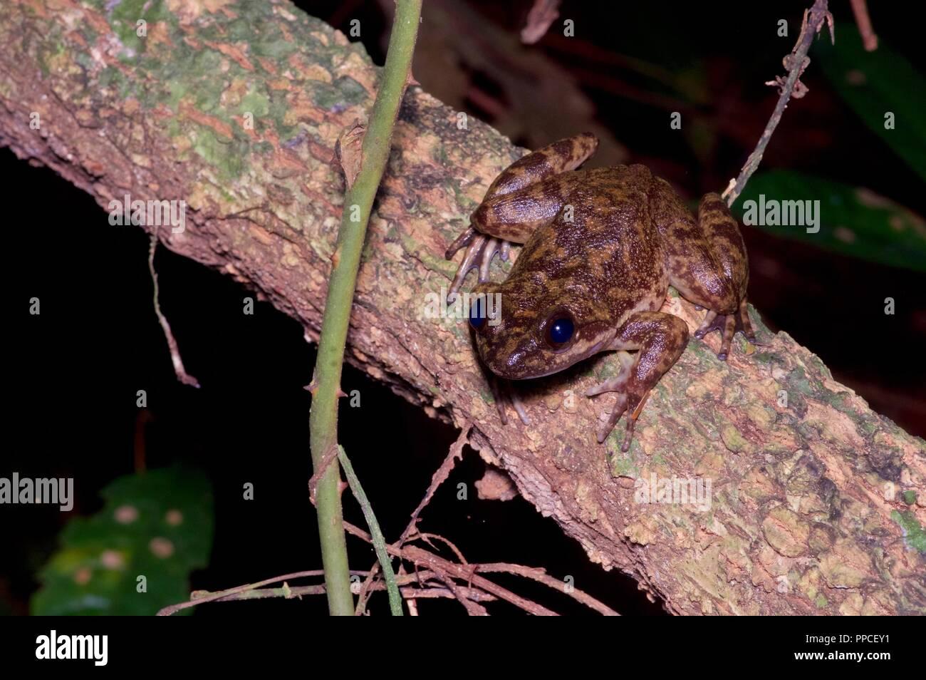 Un pariente de la críticamente amenazadas Togo resbalosa Rana (cf. Conraua derooi) en el Streamside en la Reserva Forestal Atewa Range, Ghana, África occidental Imagen De Stock