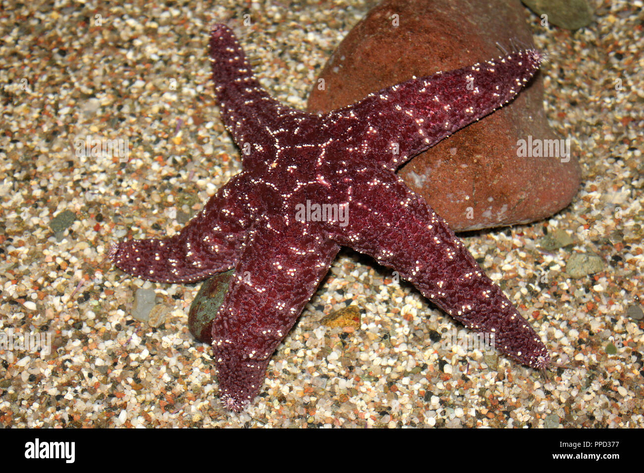 Estrellas ocre Pisaster ochraceus Imagen De Stock