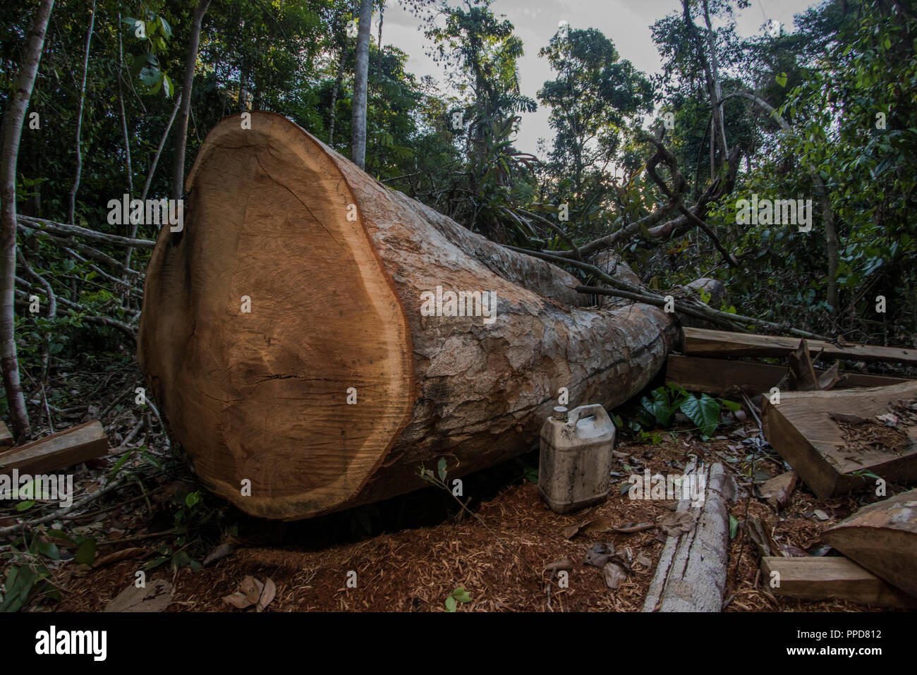 Un sitio de registro en Madre de Dios, Perú. La tala ilegal es una enorme amenaza para la selva amazónica. Aquí un árbol de madera madura ha sido talados. Imagen De Stock