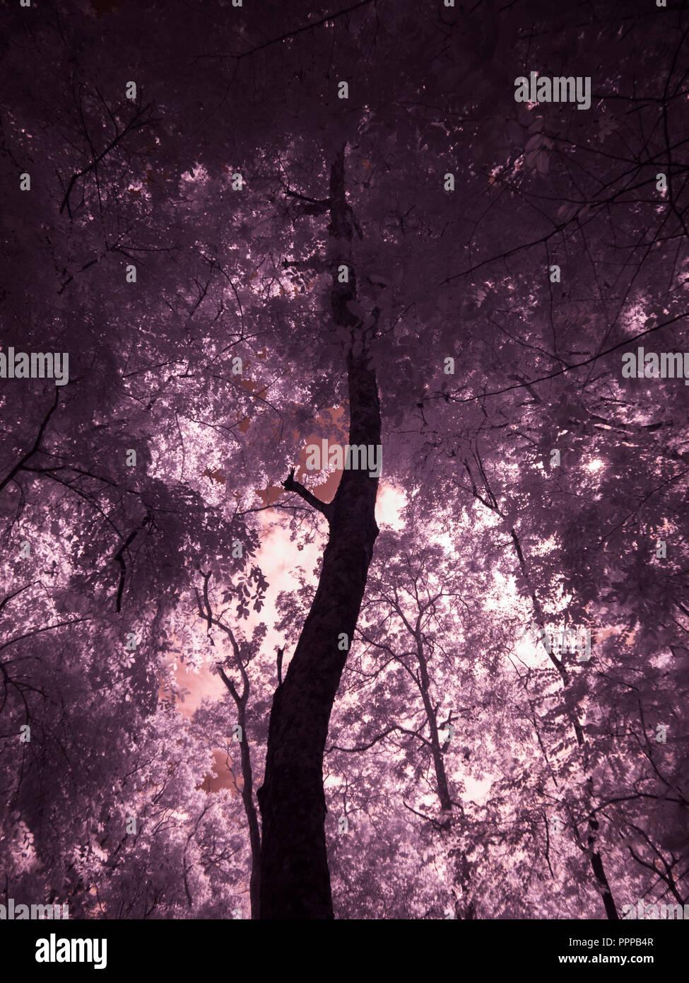 Fotografía artística de infrarrojos : Árbol , hojas , bosque Foto de stock