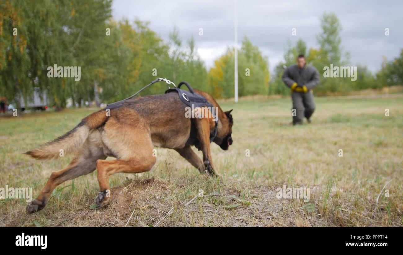 Un perro pastor alemán entrenado corriendo hacia el hombre en un traje de protección Foto de stock