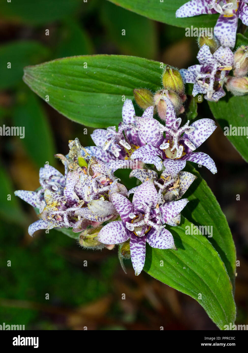 Racimos de flores de color blanco moteado púrpura de la perenne hardy sapo japonés lily, Tricyrtis hirta Foto de stock