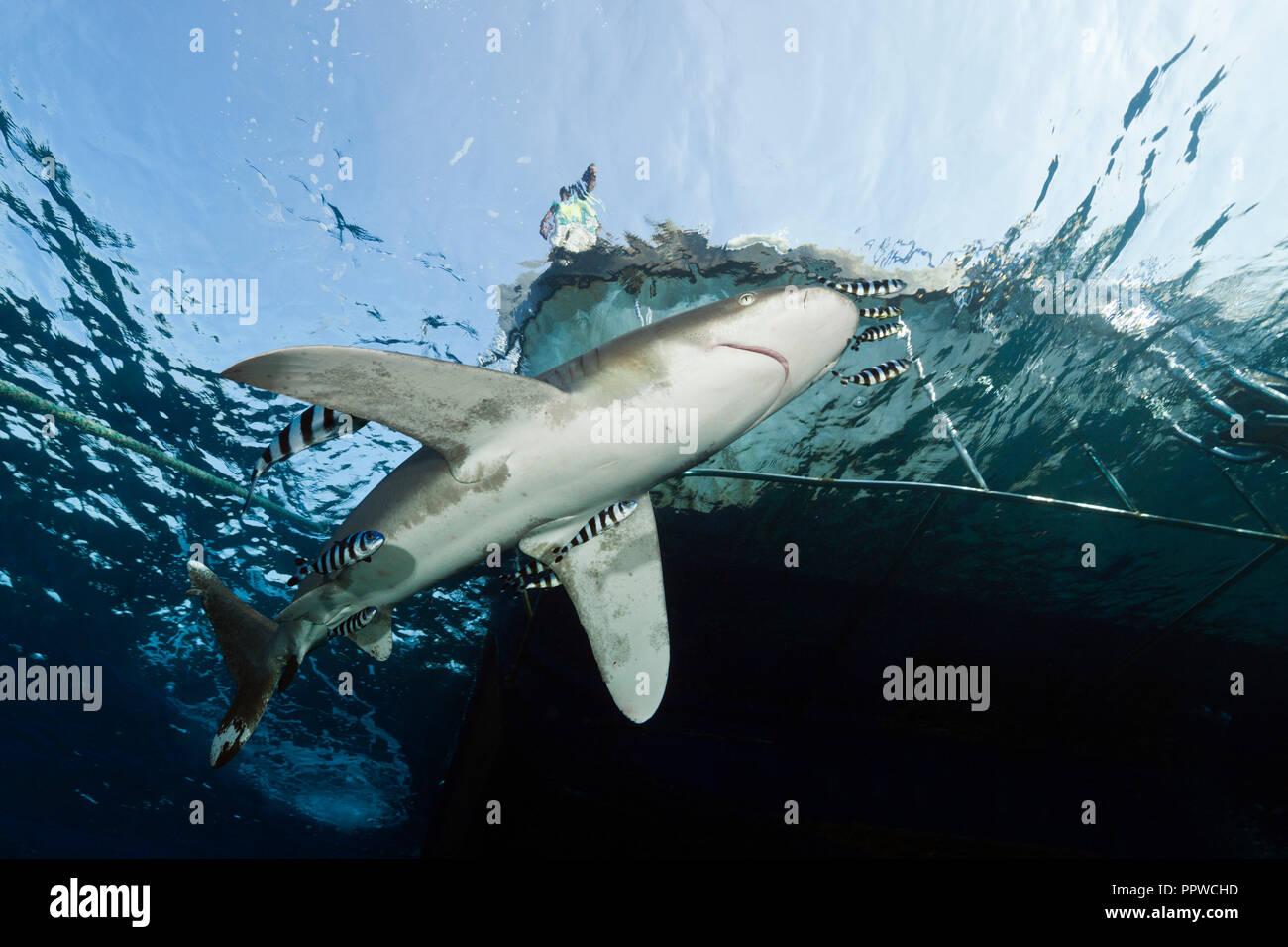 A continuación tiburón oceánico Liveaboard, Carcharhinus longimanus, Hermano Islas, Mar Rojo, Egipto Foto de stock