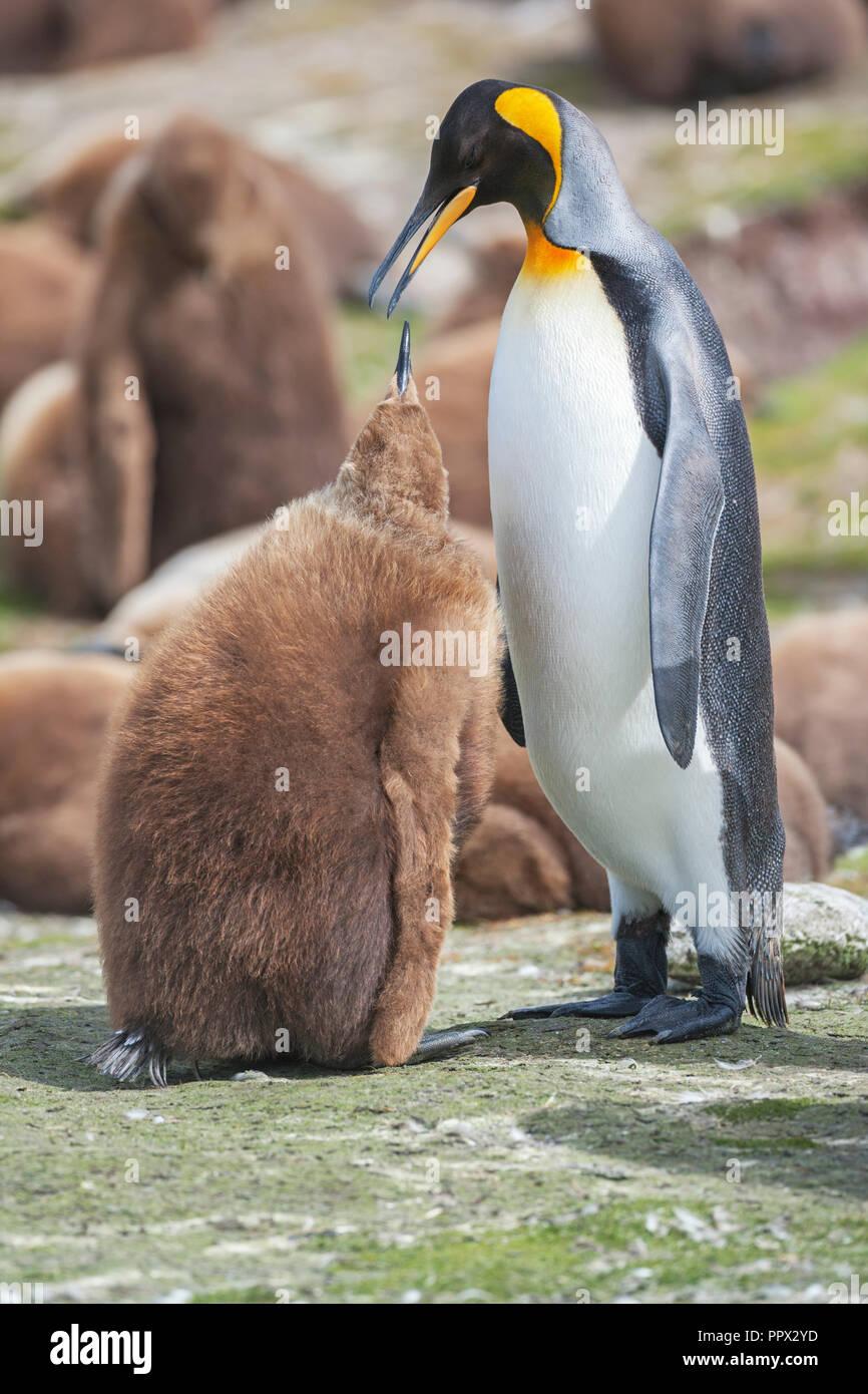 Pingüino Rey (Aptenodytes patagonicus) que alimentan su chick, East Falkland, Islas Malvinas, en el Atlántico Sur, en América del Sur Foto de stock