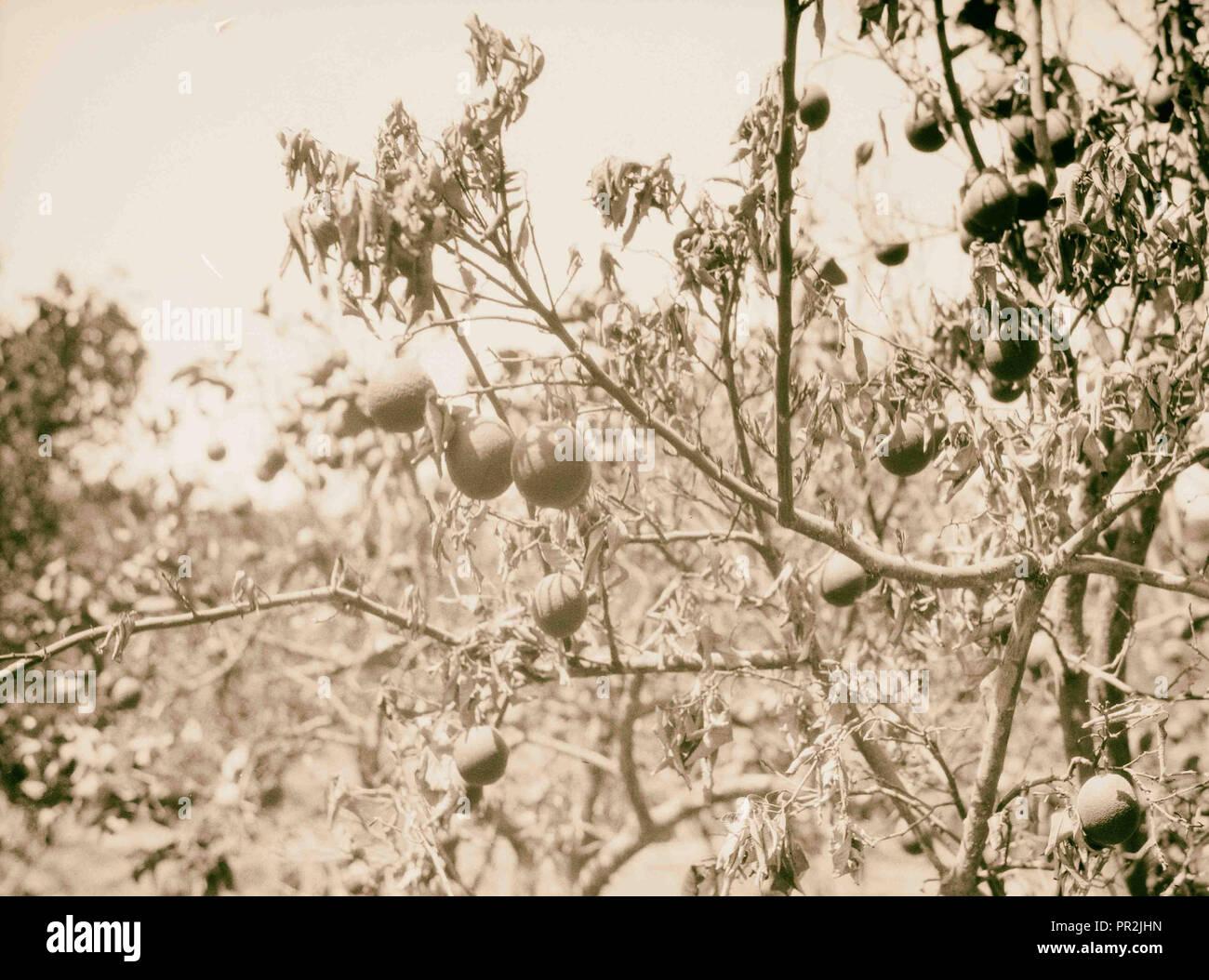 Agricultura, etc. Orange Tree afectados por la enfermedad de los cítricos. Un close-up mostrando las hojas marchitas [Jaffa]. 1930, Israel, Tel Aviv. Imagen De Stock