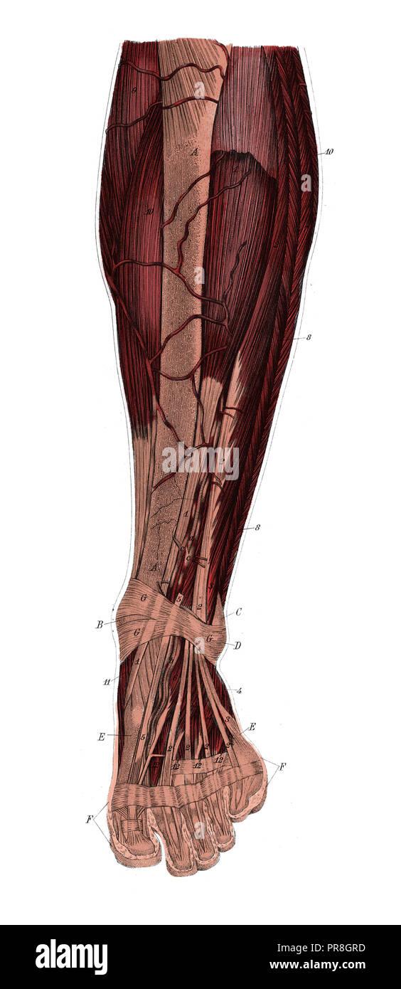 Ilustración del siglo XIX de la pierna izquierda desde la parte delantera después de la eliminación de la piel y la fascia. Publicado en Systematischer Bilder-Atlas zum Conversations-Le Imagen De Stock