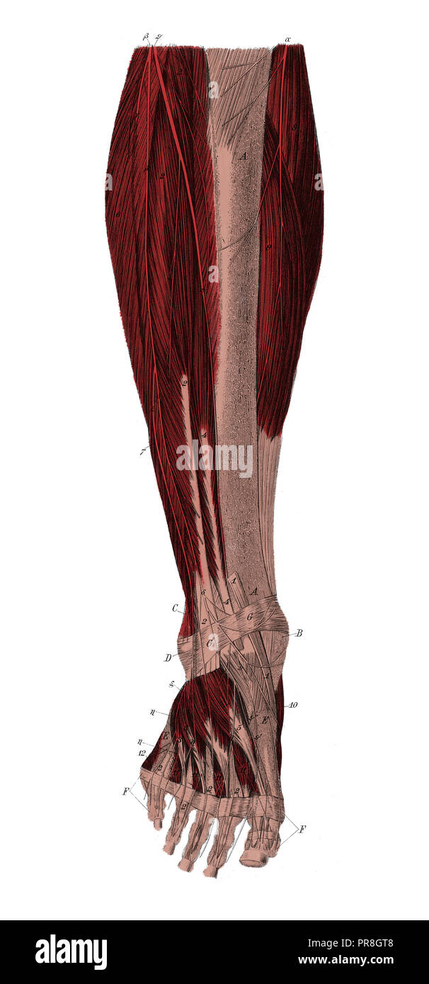 Ilustración del siglo XIX de la pierna derecha desde la parte delantera a la distancia de la parte superior de la capa muscular. Publicado en Systematischer Bilder-Atlas zum Conv Imagen De Stock