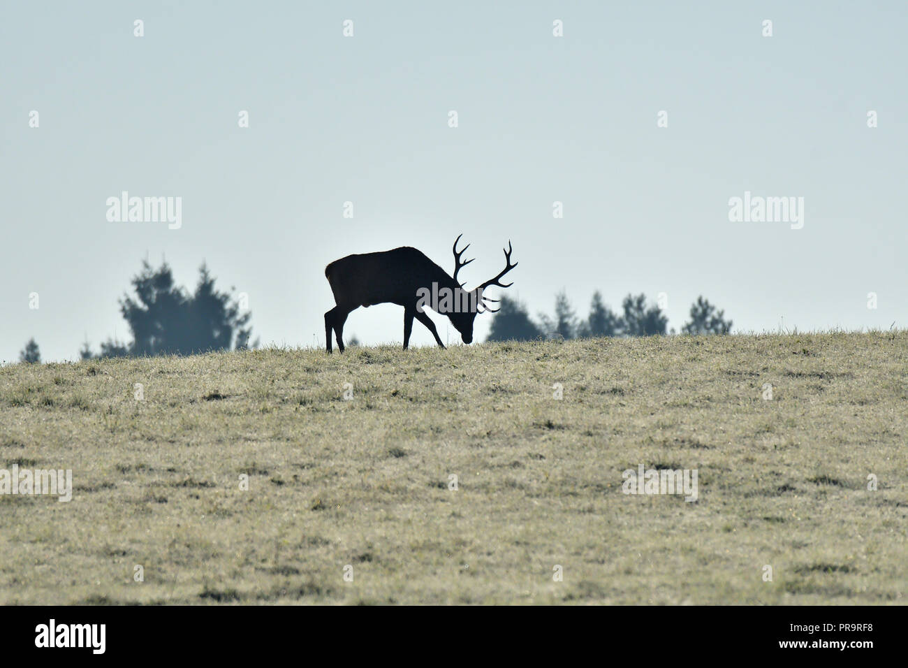 El contorno de la silueta de un ciervo con astas en el horizont Imagen De Stock