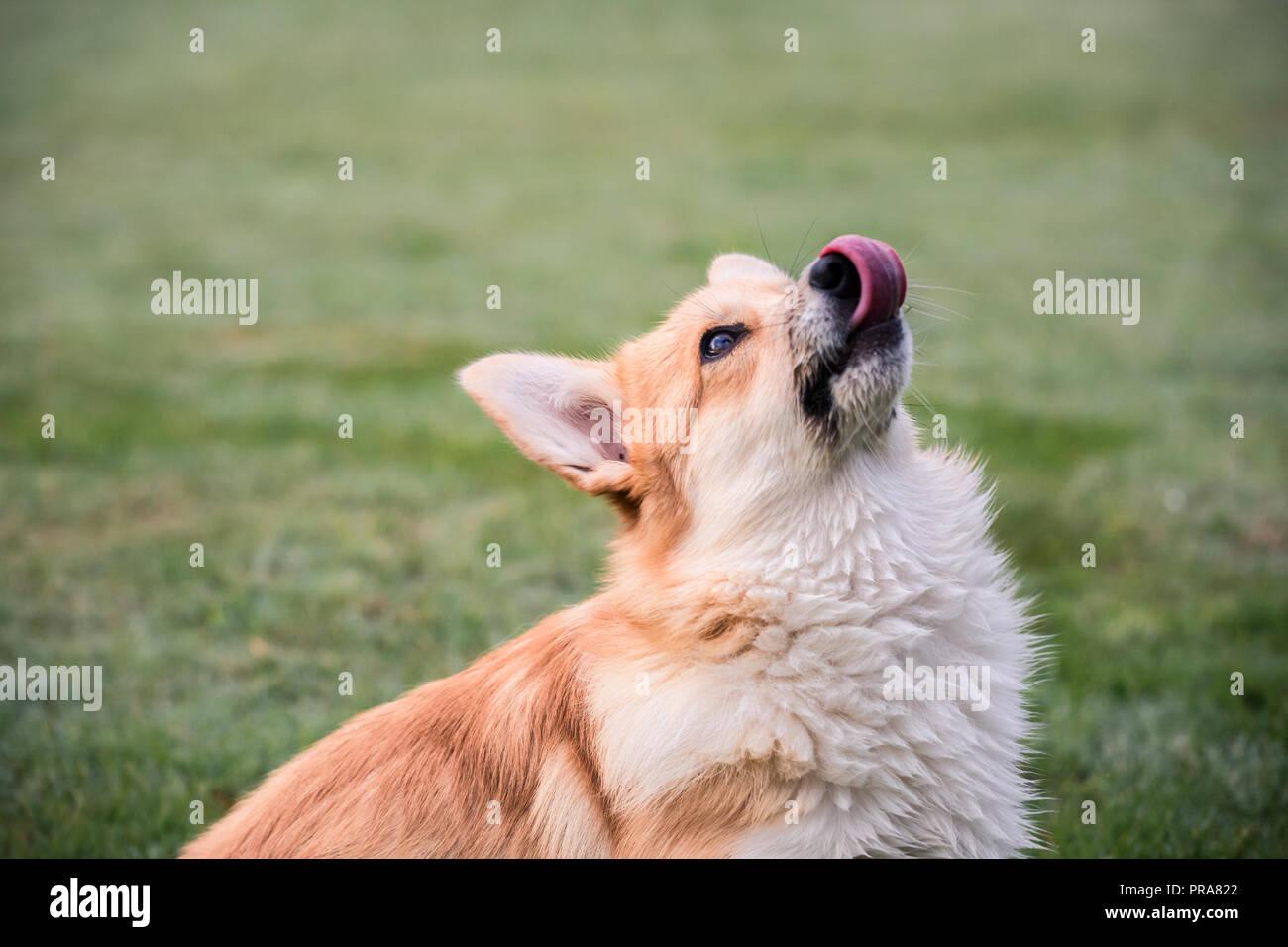 6 mes de edad Welsh Corgi Pembroke en otoño de lamer los labios mirando hacia arriba a un propietario Foto de stock