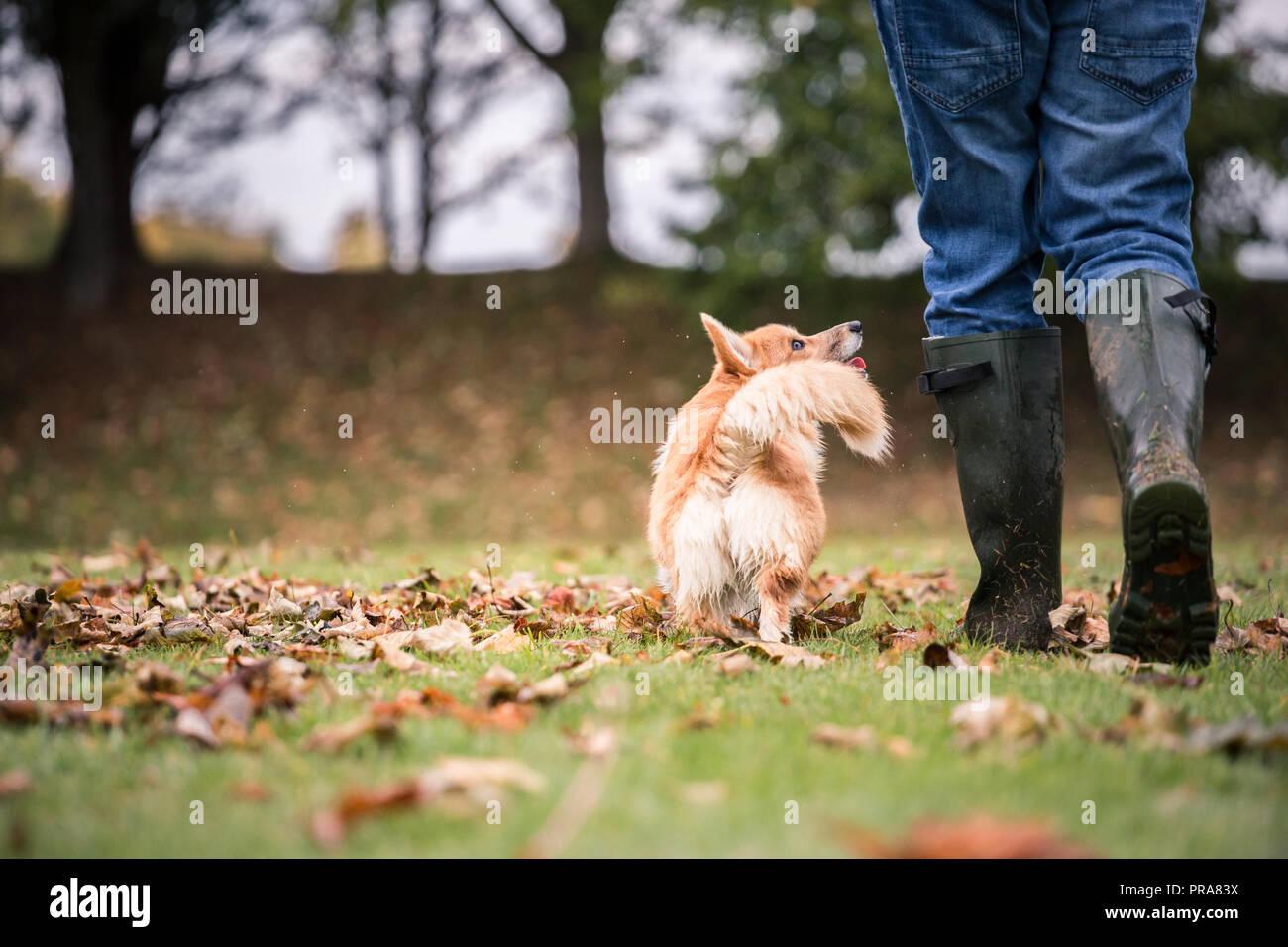 6 mes de edad Welsh Corgi Pembroke en otoño con el propietario Foto de stock