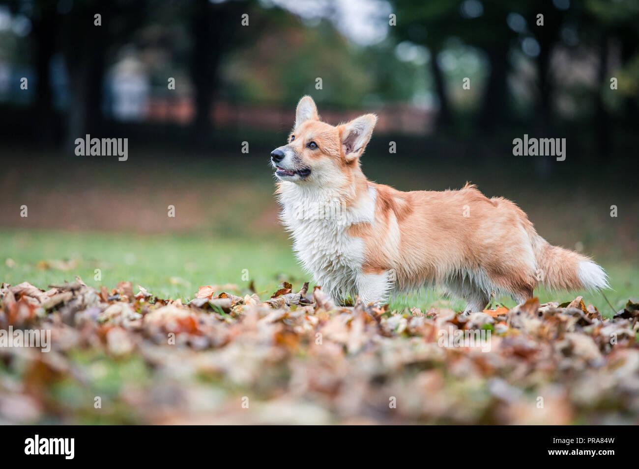 6 mes de edad Welsh Corgi Pembroke en otoño Foto de stock