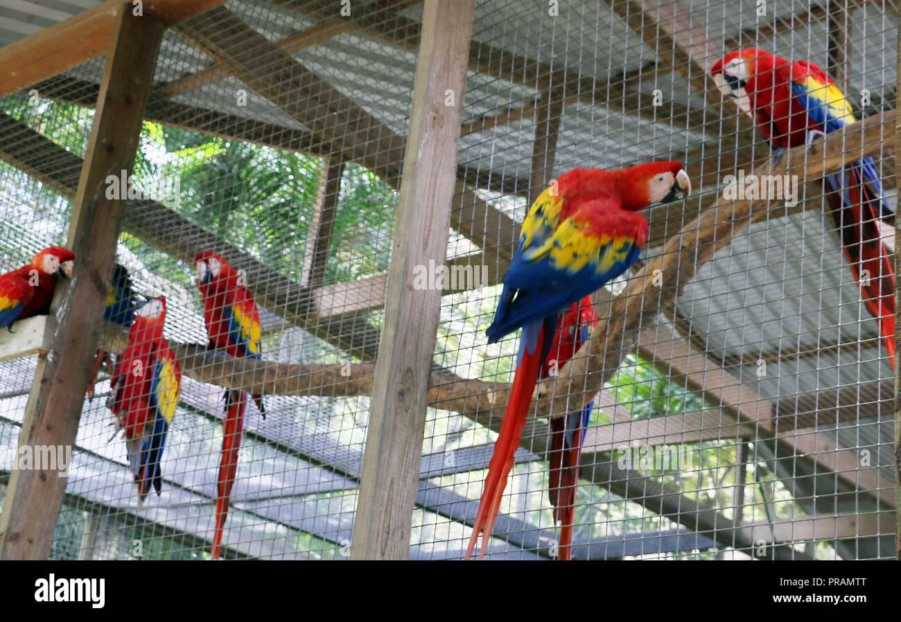 Vista de guacamayos en el Parque de aves Montaña Guacamaya, en las Ruinas de Copán, en Honduras, el 30 de septiembre de 2018. La guacamaya, ave simbólica de los mayas, está en peligro de extinción debido a la aceleración de los daños a su hábitat natural en varias regiones de Honduras, pero en Copan Ruinas de su población, principalmente el rojo, está aumentando poco a poco gracias a un programa de protección se inició en 2001. EFE/Alemán Reyes Imagen De Stock