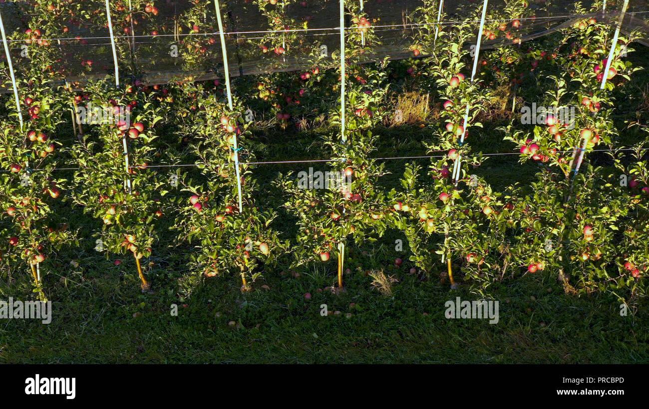 Apple Plantation, huerto con net para protección contra el granizo, vista panorámica desde el lado, leer las manzanas en el árbol en Sunrise, producción de frutales, protección fitosanitaria Foto de stock
