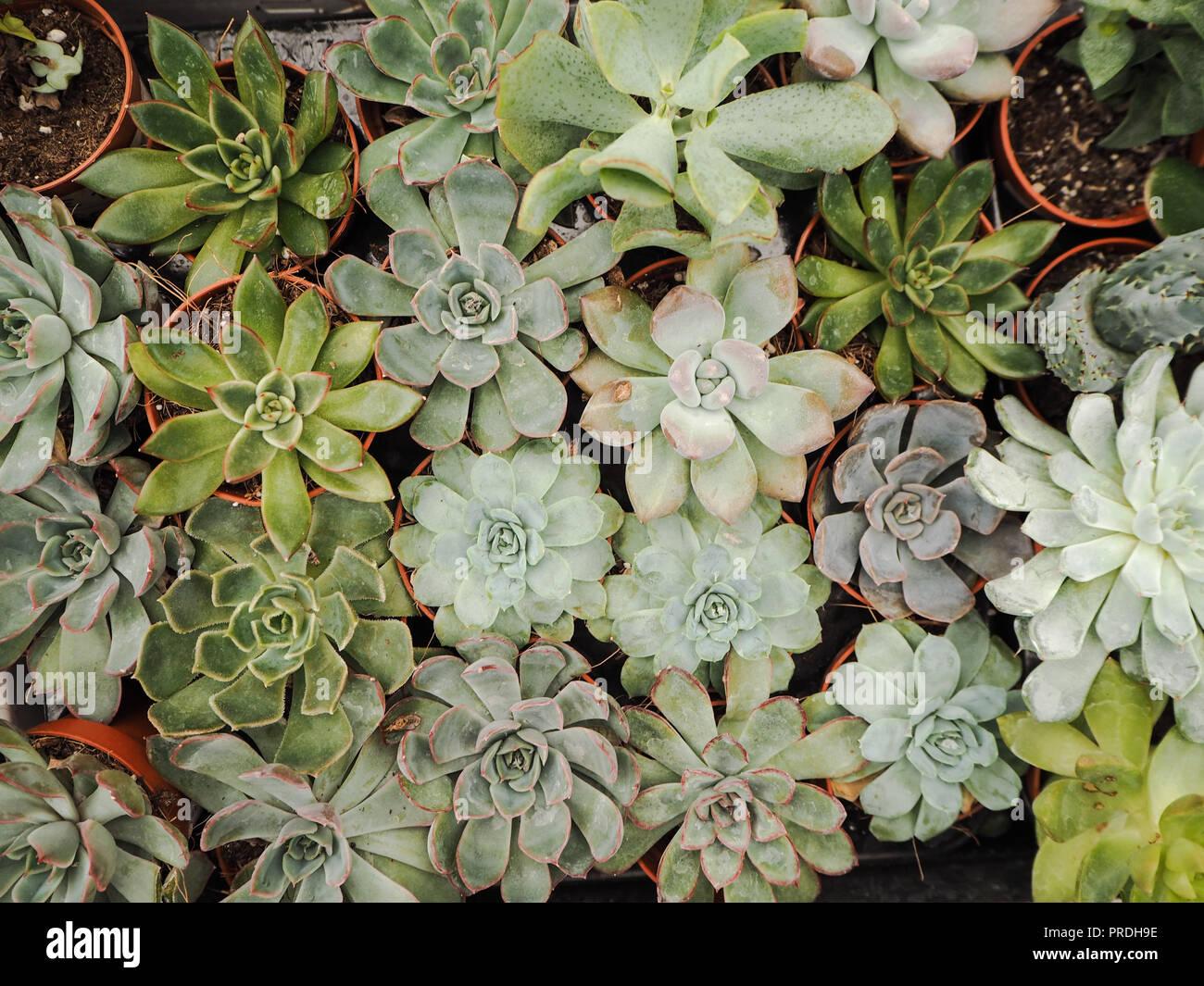 Diferente pequeño púrpura y verde echeveria plantas suculentas (Crassulaceae) alineados uno junto al otro Foto de stock