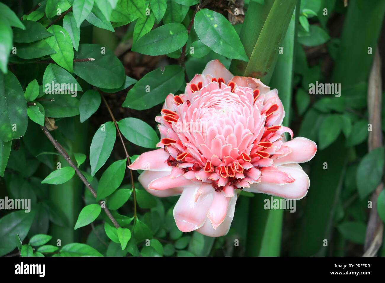 Antorcha rosa flores locales de jengibre, etlingera elatior, familia Zingiberaceae Bohol, Filipinas Foto de stock