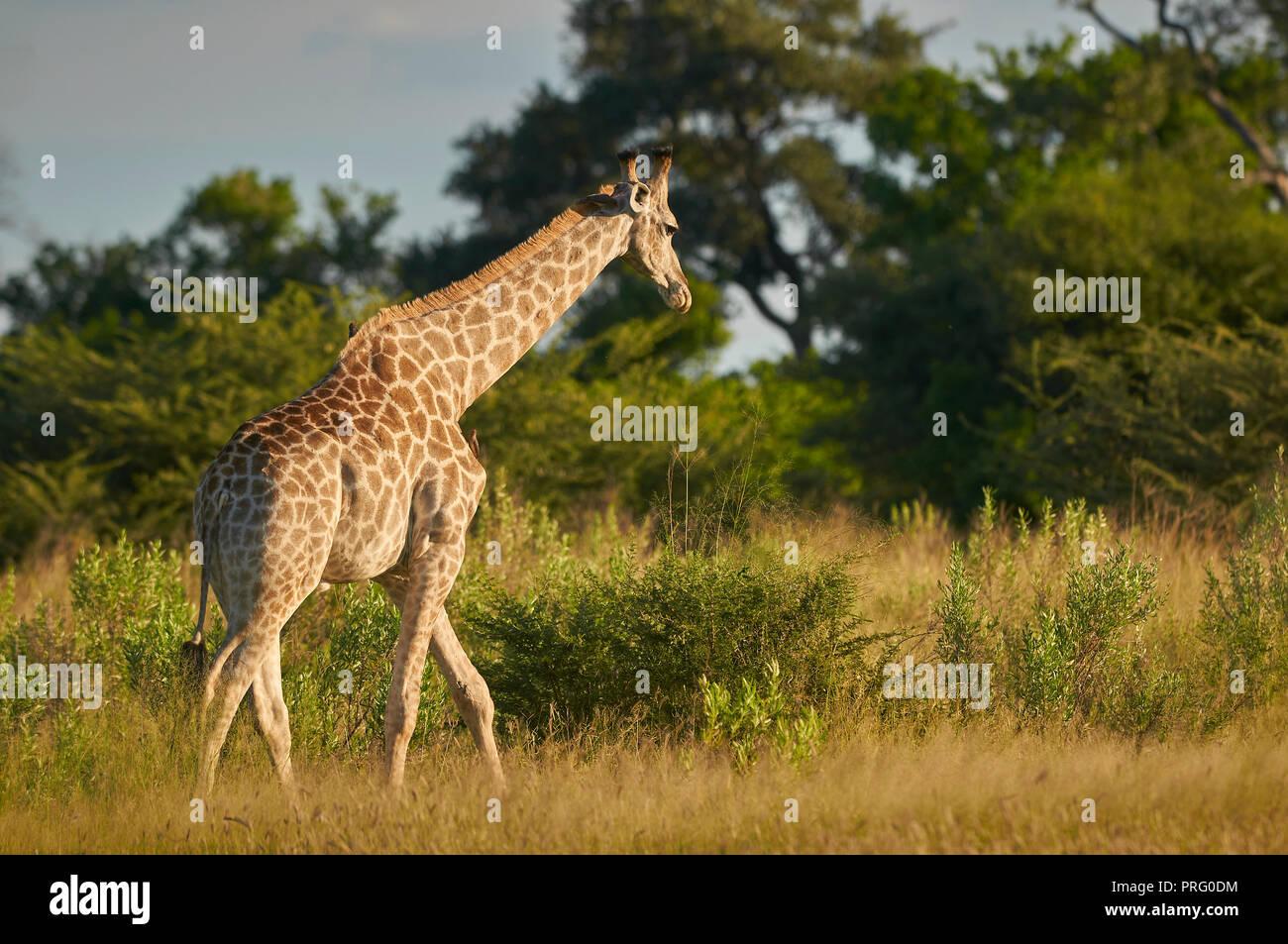Mujeres jirafa camina hacia un límite de vegetación arbórea. Foto de stock