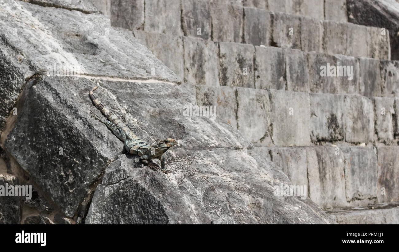 Lizard en pasos de una ruina maya en el sitio arqueológico de Chichén Itzá. Foto de stock