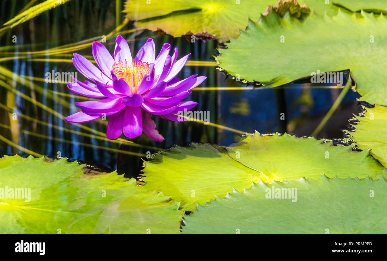 Water Lilies en Kew Gardens, Londres, Inglaterra Foto de stock