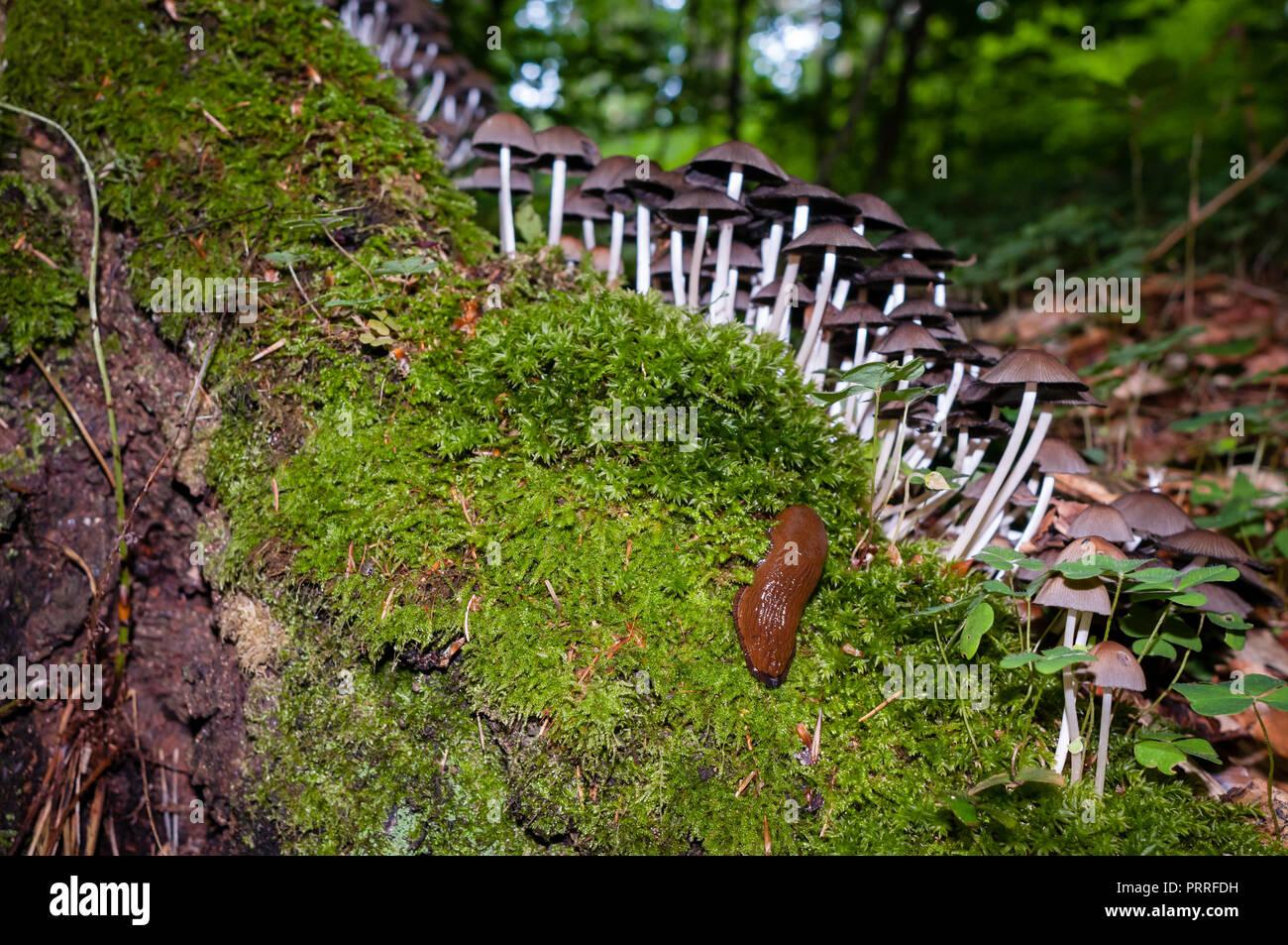 Brown slug, un grupo de hongos y musgo húmedo sobre un tocón de árbol. El enfoque selectivo y la linterna. Foto de stock