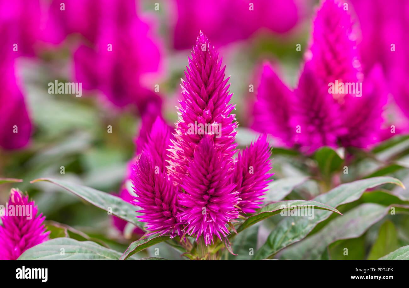 Celosia Caracas, una rosa/púrpura Half-hardy Cockscomb planta anual (AKA Celosia confort) que crecen en otoño en West Sussex, Reino Unido. Imagen De Stock